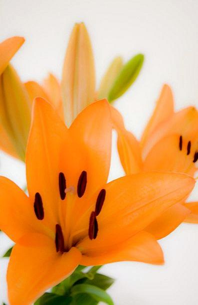 Lilies Landscapes Nature Name Designation Lily Flo