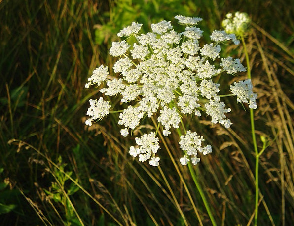 Queen Ann'S Lace Flowery Plants Florae Floral Bota