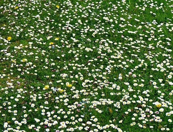Daisy Landscapes Field Nature Daisy Meadow Meadow