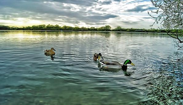 Ducks Dears Drake Mallard River Male Masculine Bir