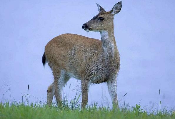 Sitkensis Odocoileus Hemionus Fauna Animal Physica