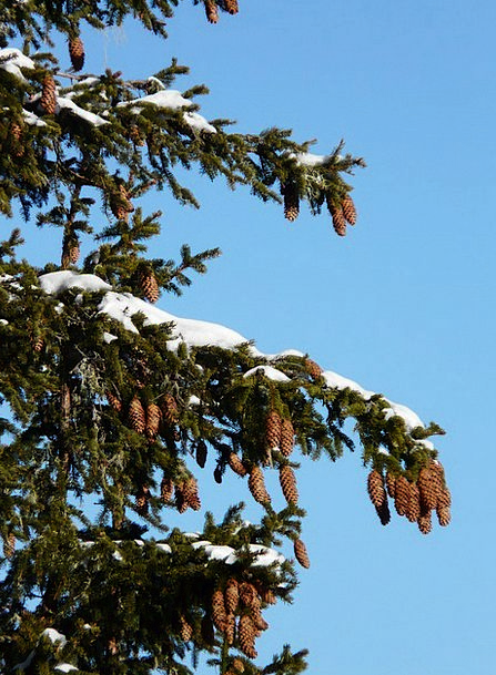 Tap Blow Spruce Neat Pine Cones Conifer Picea Tree