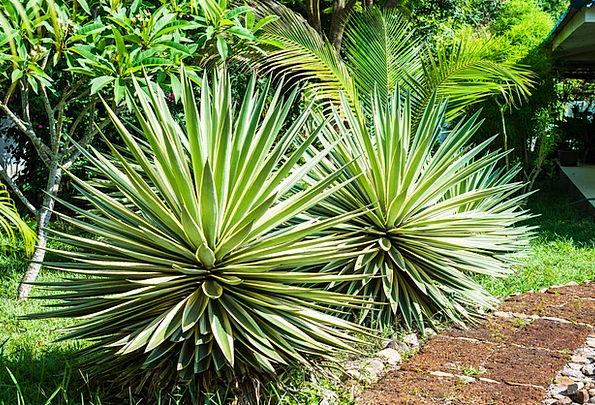 Agave Landscapes Nature Plant Vegetable Agavengewä
