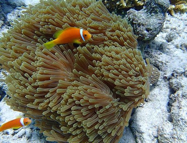 Anemone Fish Fish Angle Anemone Sea Fish Underwate