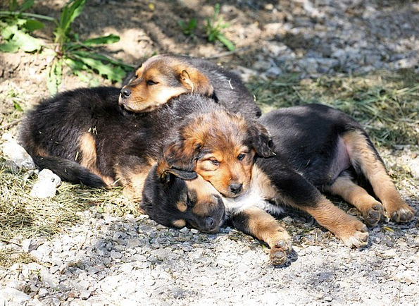 Dog Puppies Brats Dog Canine Puppies Baby Darling