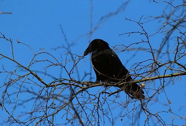 Crow Caw Rook Corvus Frugilegus Raven Bird Animals