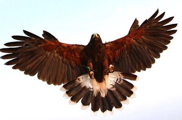 Hawk Warmonger Fowl Prey Quarry Bird Landing Moori