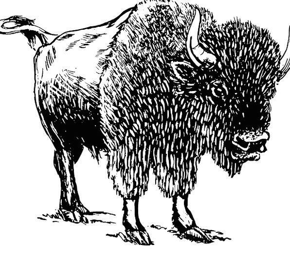 Bison Intimidate Animal Physical Buffalo Mammal St