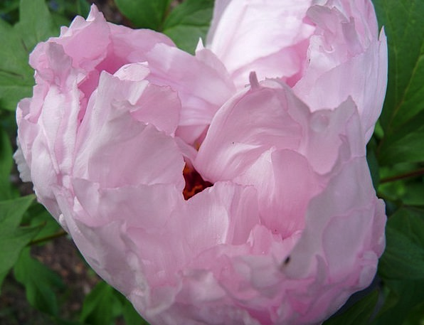 Peony Flushed Tender Loving Pink Garden Plot Summe