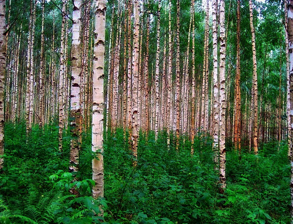 Birch Trees Landscapes Woodland Nature Woods Fores