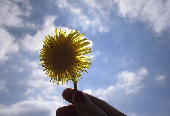 Dandelion Floret Lighting The Sun Flower