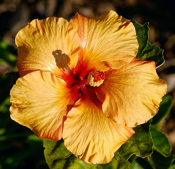 Hibiscus Floret Orange Carroty Flower Gold Gilded