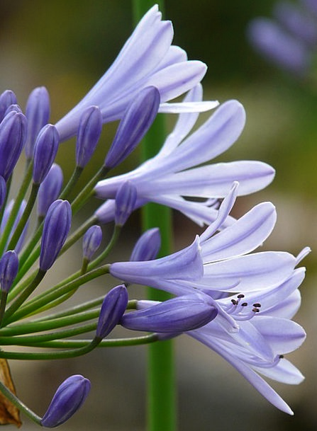 Agapanthus Agapanthoideae Jewelry Lilies Greenhous
