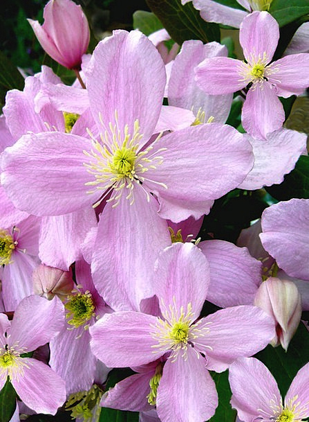Clematis montana plants pink flushed flowers climbing plant clematis montana plants pink flushed flowers climb mightylinksfo