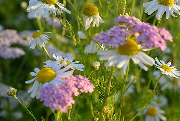 Chamomile Landscapes Plants Nature Flower Meadow F