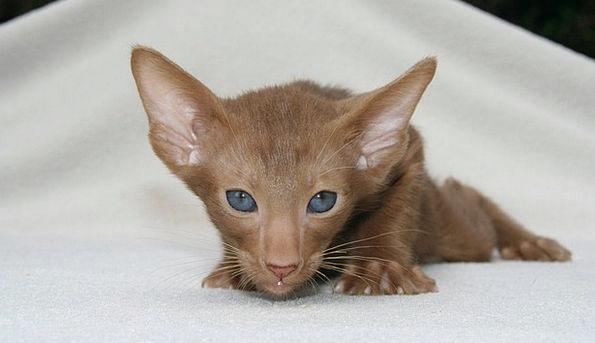 Oriental Shorthair Kittens