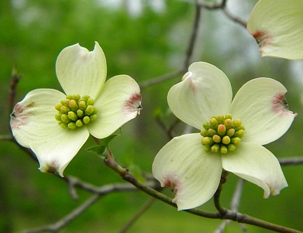 Dogwoods Plants Blooming Trees Trees Flower Floret