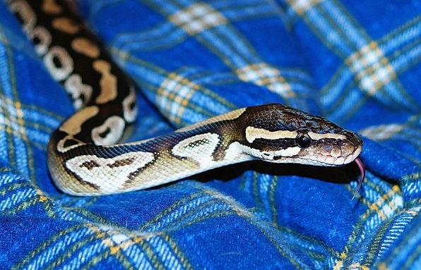 Mojave Python Serpent Python Snake Warm Mojave Yel