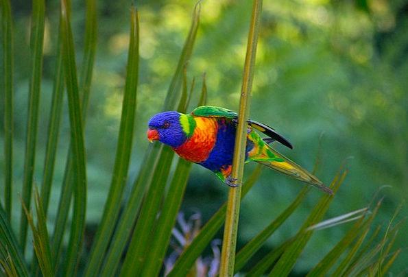 Rainbow Lorikeet Imitator Lorikeet Parrot Bird Fow