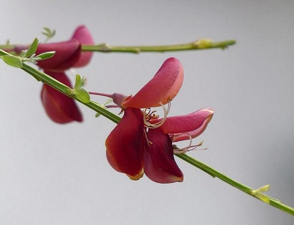 Cytisus Scoparius Landscapes Floret Nature Red Blo