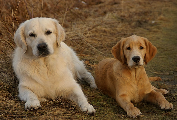 Dog Canine Golden Retriever Retriever Concerns Fur