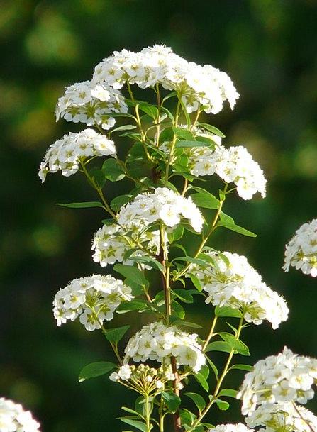 Glory Spierstrauch Plants White Snowy Flowers Spir