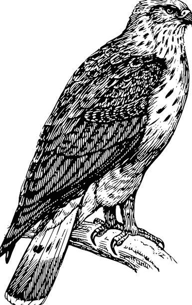Bird Fowl Falcon Eagle Perched Feather Quill Wing