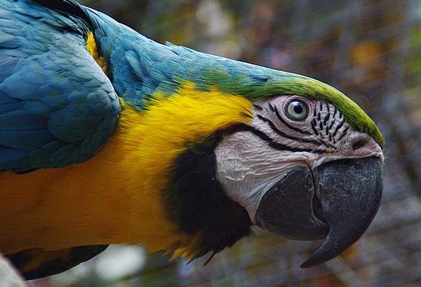 Parrot Imitator Fowl Plumage Down Bird Blue Colorf