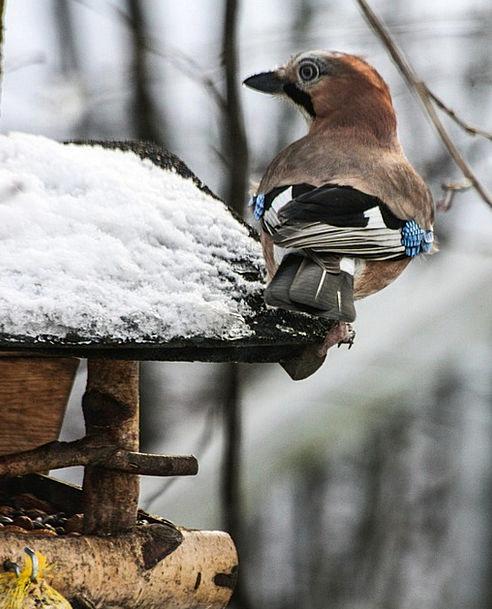 Animal Physical Fowl Jay Bird Winter Season Hunger
