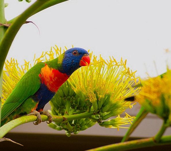 Bird Fowl Colorful Interesting Lorikeet Beautiful