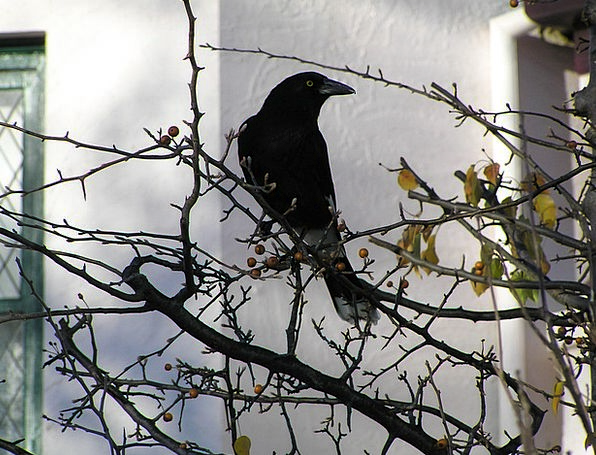 Bird Fowl Wildlife Nature Blackbird Crow Caw Black