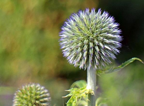 Flower Floret Landscapes Azure Nature Globe Thistl