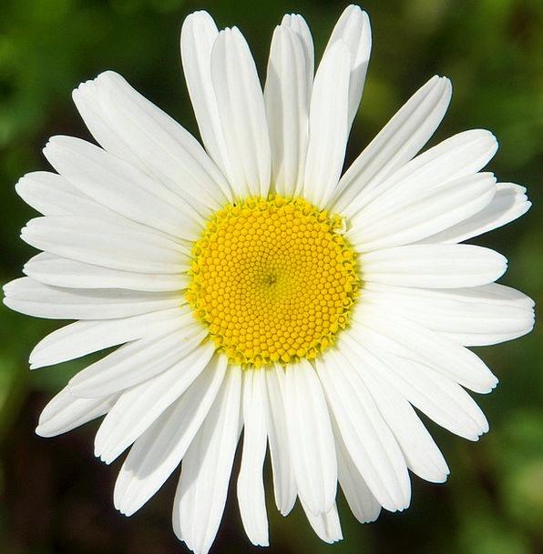 Daisy White Wild Flower Leucanthemum Vulgare