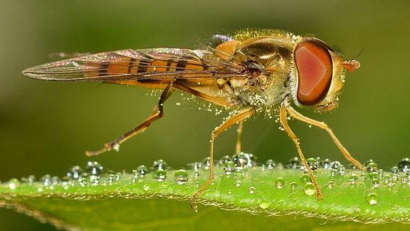 Insects Bugs Episyrphus Diptera Balteatus