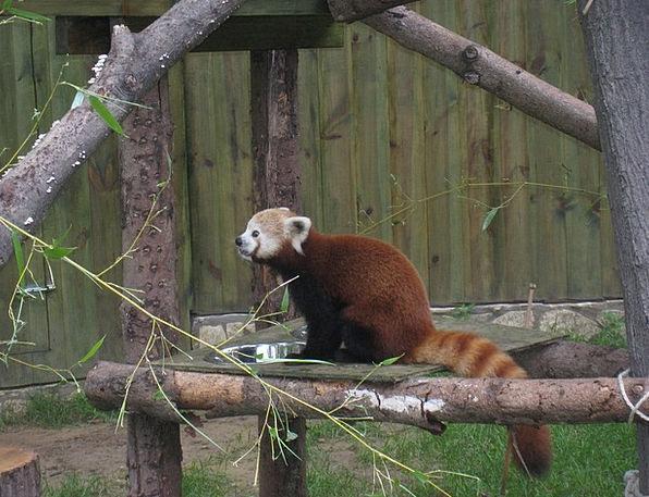 Red Panda Zoo Menagerie Nyíregyháza