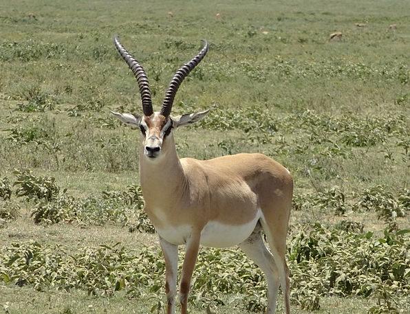 Impala Plain Basic Gazelle