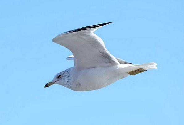 Seagull Fowl Nature Countryside Bird Sky Blue Wild