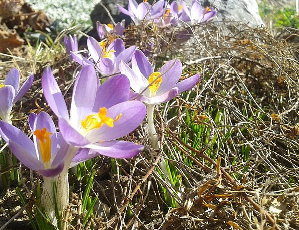 Crocuses Coil Sun Spring