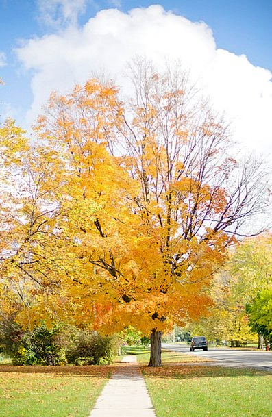 Fall Reduction Tree Sapling Autumn Yellow Creamy