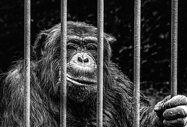 Monkey Ape Imprisonment Zoo Menagerie Captivity Im
