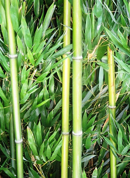 Bamboo Cane Landscapes Nature Plant Vegetable Bamb