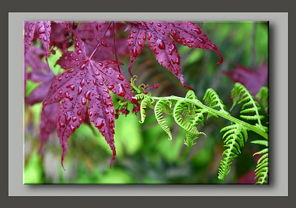Fern Leaf Rain Volley Maple Touching Moving Touch
