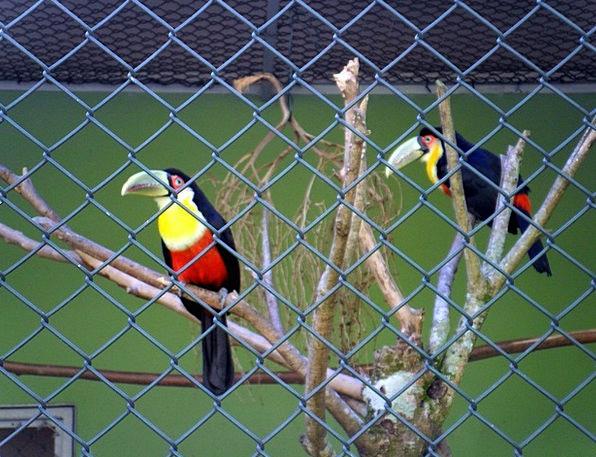 Toucans Natures Large Spout Birds Zoo Santos Brazi