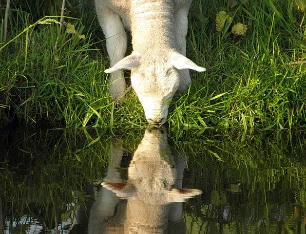 Lamb Beef Aquatic Drinking Eating Water