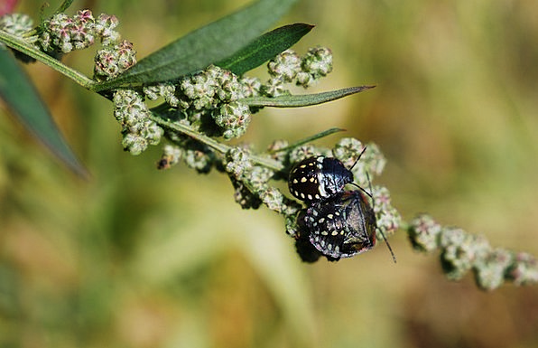 Beetle Bug Black Dark Insect Spotted Dotted Arthro