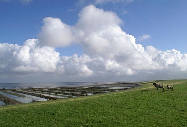North Sea Sheep Ewe Nordfriesland Dike Bank