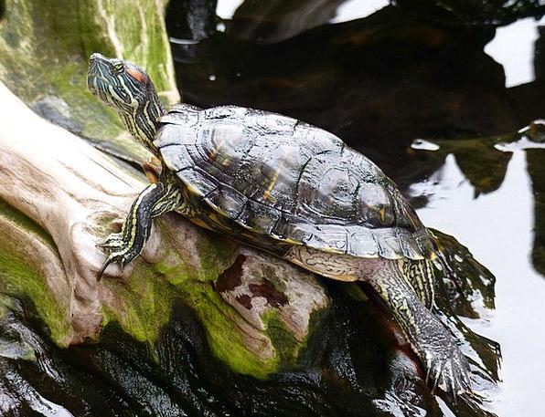 Turtle Landscapes Aquatic Nature Nature Countrysid