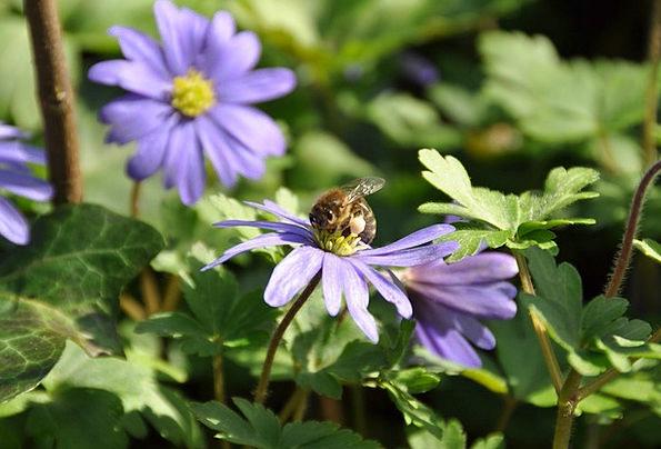 Wood Anemone Purple Elaborate Bee Lilac Mauve Flow