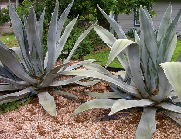 Agave Landscapes Nature Plant Vegetable Cactus Cac