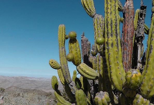 Cactus Andes Peru Dry Thirsty Desert Reward